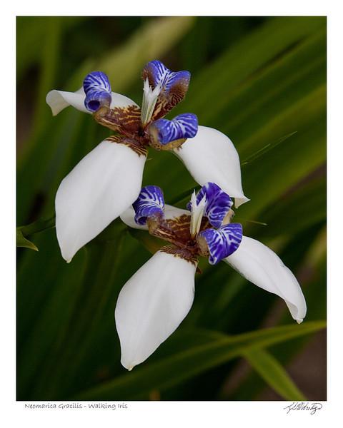 Walking Iris (Neomarica Gracilis) found in Ecuador