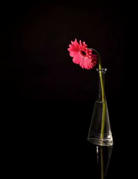 Pink Gerbera.jpg