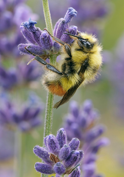 Bumble Bee  sleeping for the night on some Lavender.
