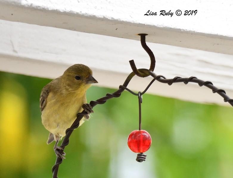 Juvenile Lesser Goldfinch - 06/19/2019- Sabre Springs Backyard