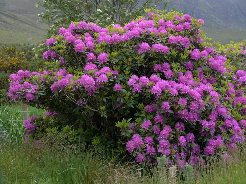 @RobAng Juni 2015 / Badrallach, Wester Ross, Strathpeffer and Lochalsh Ward, Scotland, GBR, Grossbritanien / Great Britain, 17 m ü/M, 2015/06/23 14:55:18