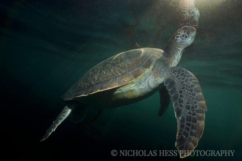 turtle rayfinal.jpg