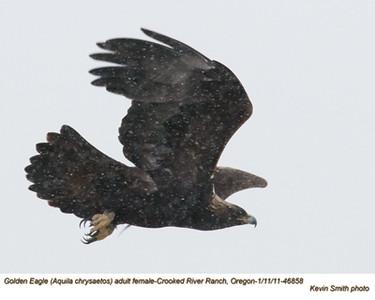 Golden EagleF46858.jpg