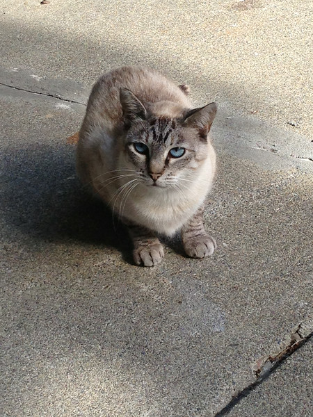 This is a feral/neighborhood kitty who stalks us... she is super pretty but wont let you touch her. I call her Giggles.