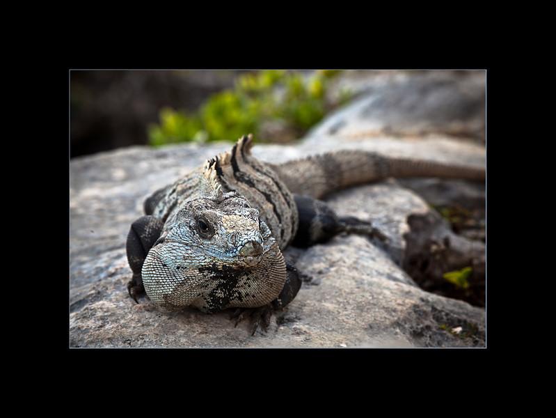 iguanas 3 small.jpg