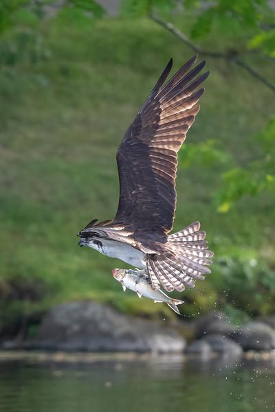 #1635 Osprey