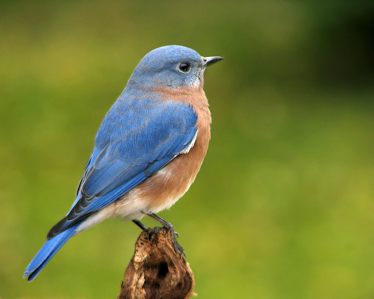 bluebird_5841.jpg