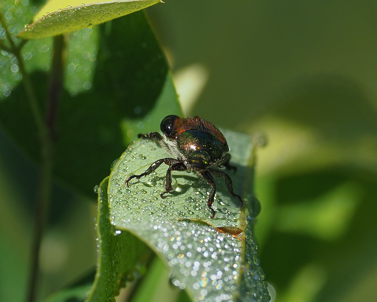 May beetle sp. (June Bug) (Phyllophaga)