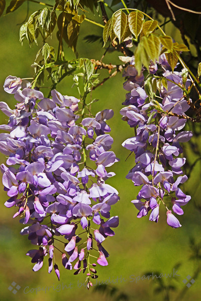 Wisteria ~ The heady perfume of Wisteria filled the air in Descanso Gardens this week.
