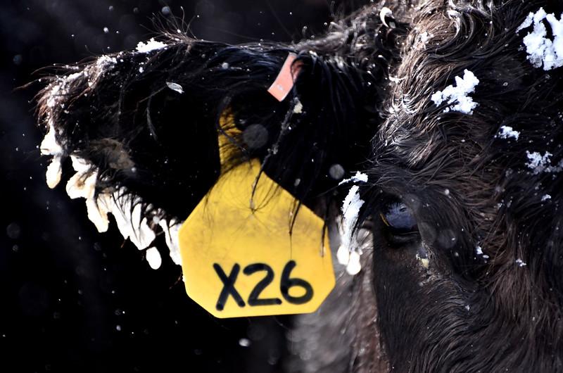 Cow X26.JPG
