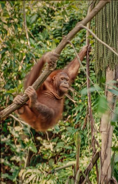 Borneo- Sabah 2000