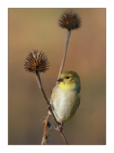 Birds:  American Goldfinch on Cone Flower