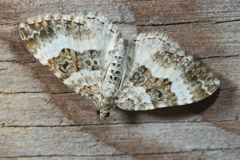 White-banded Toothed Carpet Moth