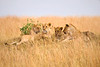 Group of female lions laying on a small hillside in Africa. Photography fine art photo prints print photos photograph photographs image images artwork.