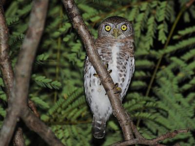 Cuban Pygmy Owl (Glaucidium siju) Vinales, Cuba November 2013