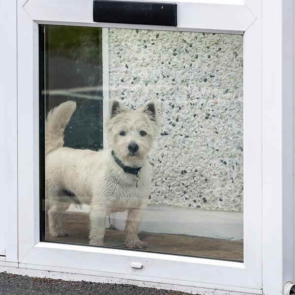White dog looking through a window, Pulathomas, County Mayo, Republic of Ireland
