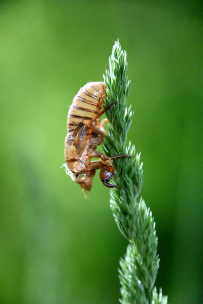 cicada-nymph-grass2.jpg