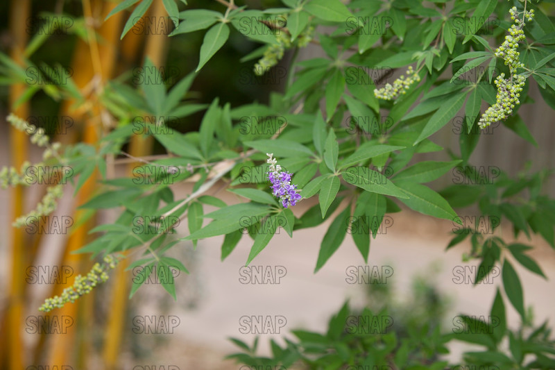 Chaste Tree, Hemp Tree (Vitex agnus-castus 'Shoal Creek'); native to south Europe and west Asia, at the Jacksonville Zoo and Gardens.