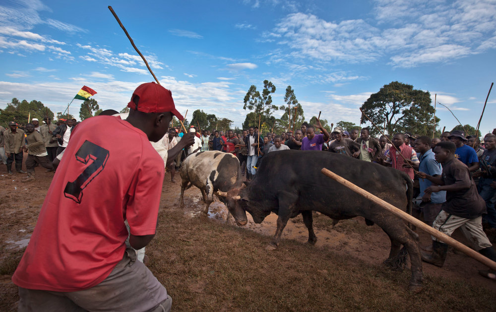 . A crowd of spectators encircles two fighting bulls at a bullfight in Khayega, Kakamega county, near Kisumu in western Kenya Saturday, Nov. 3, 2012. The traditional bullfights go back generations and are a matter of pride and prestige for the bull-owners, taking place each weekend and featuring two highly-prized bulls from different villages fighting each other until one flees in defeat, after having been fed a secret herbal concoction during the preceding day which often includes marijuana, known locally as bhang. (AP Photo/Ben Curtis)