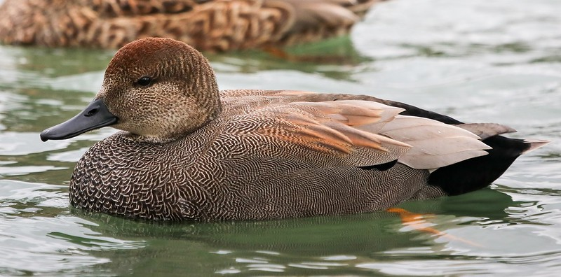 za1-10-17 Hermann Park 313C, smooth, Gadwall full side-313.jpg