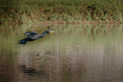 Double_Creasted Cormorant