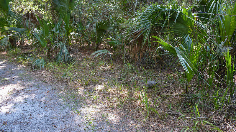 Gopher tortoise walking into woods from forest road