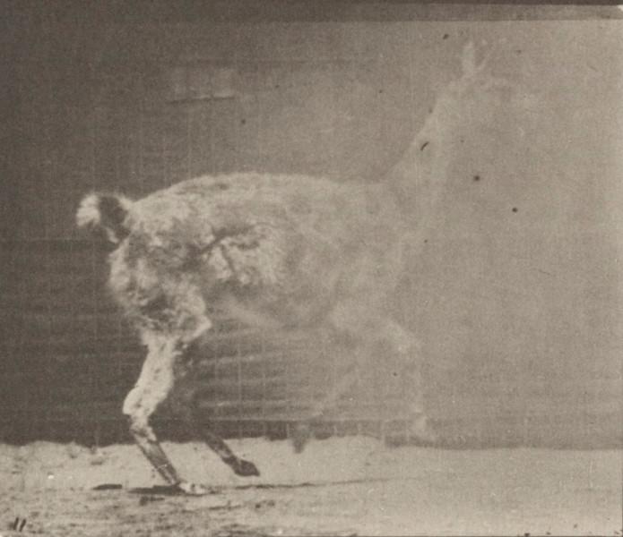 Guanaco galloping