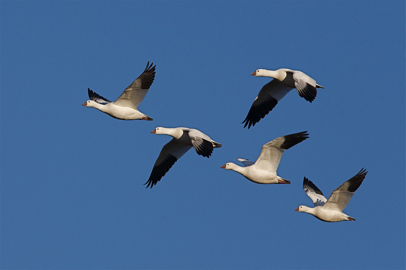 Ross' Geese, at Tulelake National Wildlife Refuge in northern California