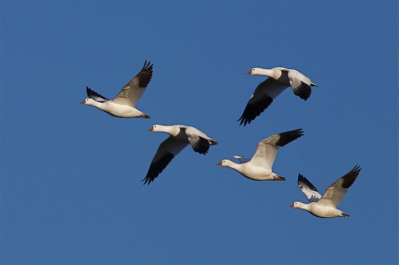 Ross' Geese, at Tulelake National Wildlife Refuge in northern California