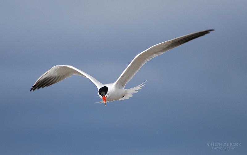 Caspian Tern, Peaceful Bay, WA, Aus.jpg