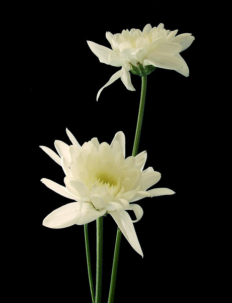 flower_stock_3_by_ajk_original_stock.jpg