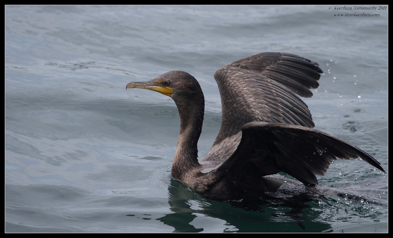 Double-crested Cormorant during the whale watching trip, Mission Bay, San Diego County, California, July 2011