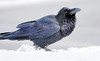 Wild adult raven playing with snow