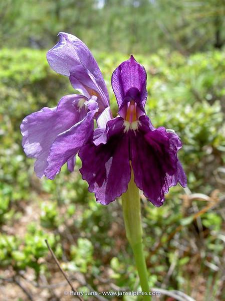 Roscoea cautleyoides (purple form)