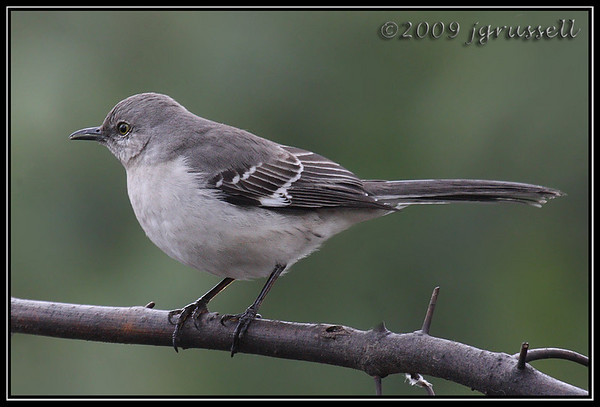 Mockingbirds and catbirds