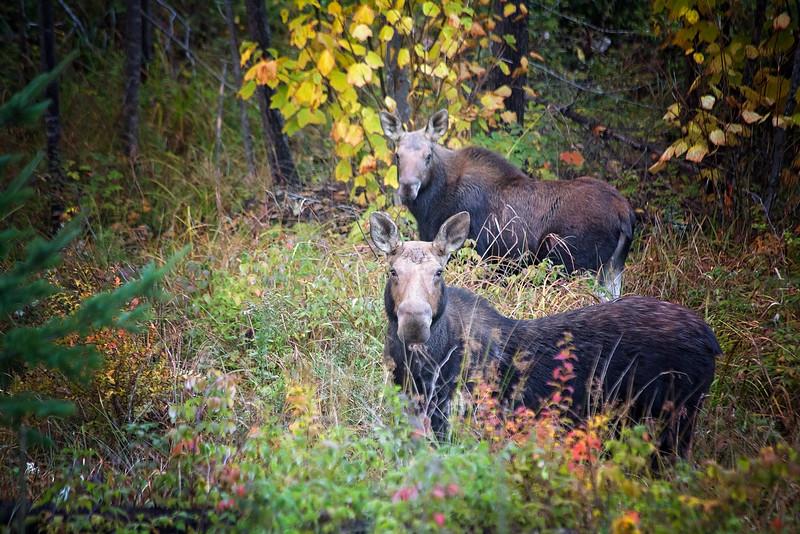 moose in Bethel, Maine