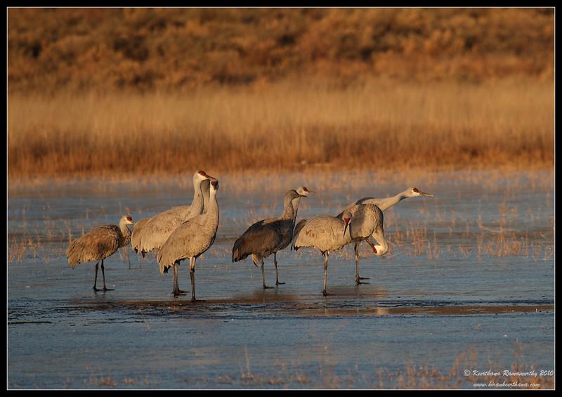 Sandhill Cranes on a frozen lake in the early morning light, Bosque Del Apache, Socorro, New Mexico, November 2010