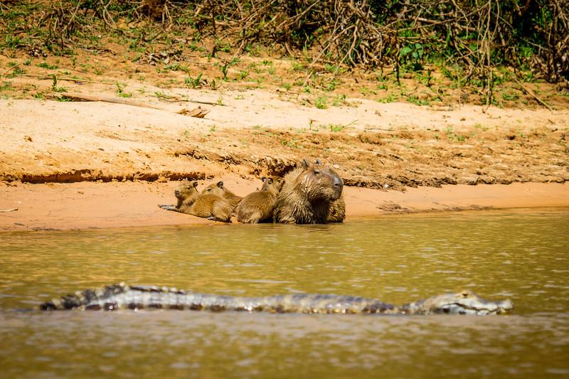 capybara (Hydrochoerus hydrochaeris) and caiman (Caiman yacare) Pantanal, Poconé, Brazil. Capybara family on beach.