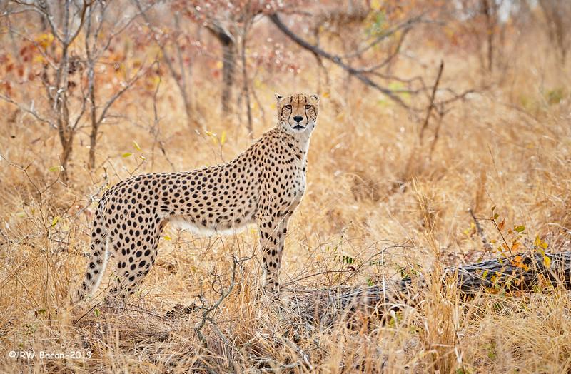Bushveld Cheetah.jpg