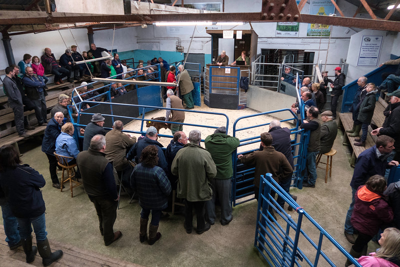 Leyburn cattle auction-copyright PIY (1).JPG