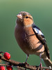 Chaffinch in Winters light