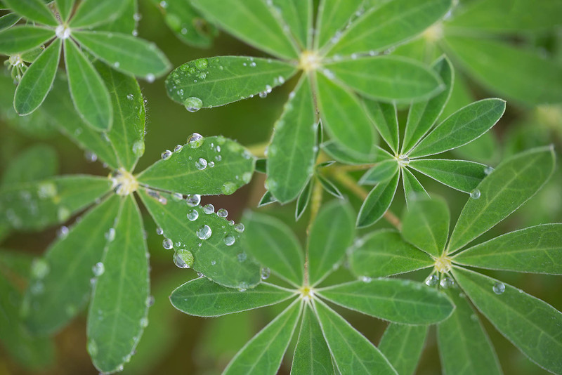Lupine Dew