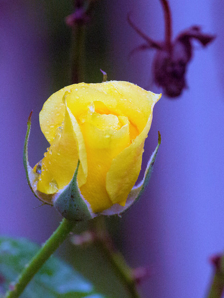 Another dewy yellow rose