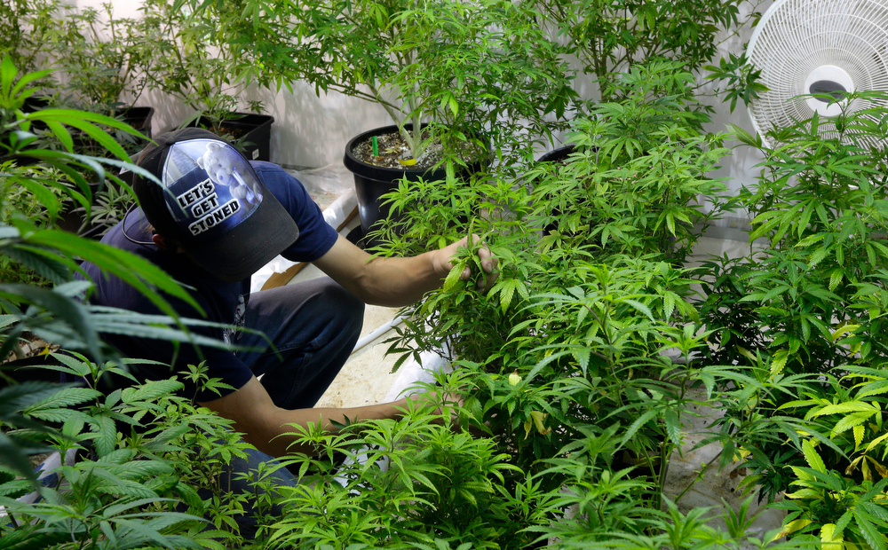". In this June 25, 2014, photo, Johnnie Seitz tends to plants in the mother room, where a larger marijuana plant is kept to produce small ""clone\"" plants at Sea of Green Farms, a recreational pot grower and processor in Seattle. Each mother plant can produce as many as several hundred cloned offshoots. (AP Photo/Ted S. Warren)"