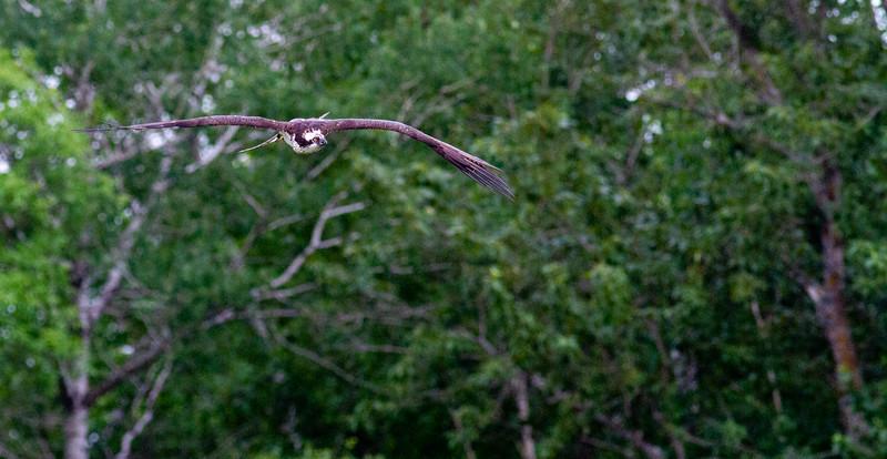 Osprey at nest Moose Lake Sewage Ponds Carlton County MN  IMG_0037.jpg