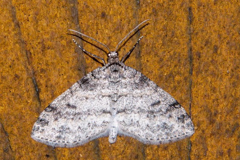 Bigwing-Powdered-(Lobophora nivigerata)- Dunning Lake - Itasca County, MN