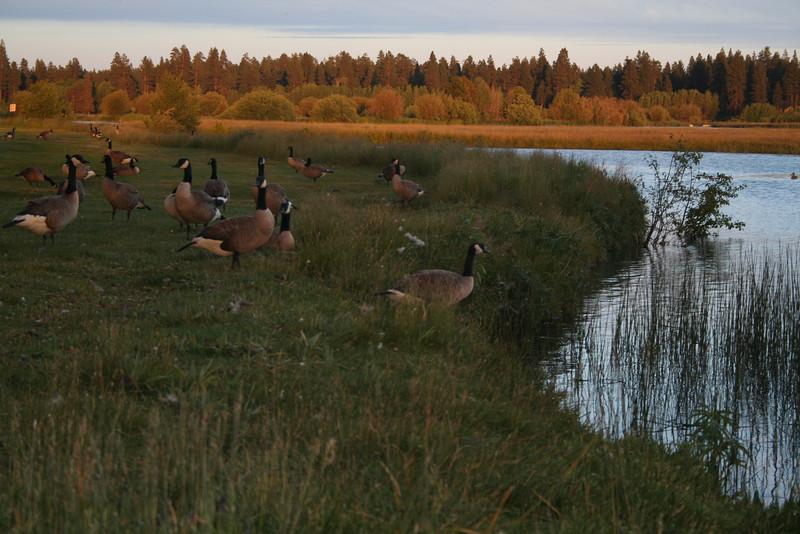 curves geese IMG_0652.JPG