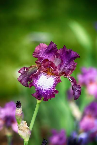 Iris 4 Arboretum.jpg