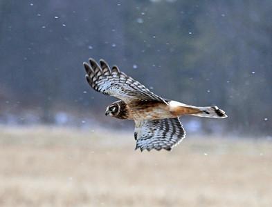 Hawk - Northern Harrier