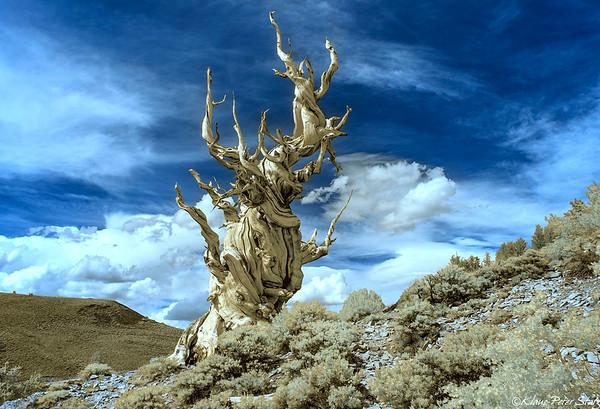 9- Ancient Bristlecone Forrest